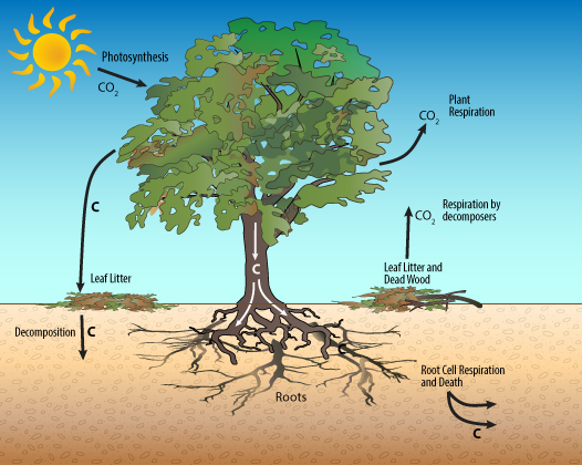 Photosynthesis in Trees